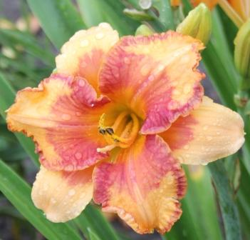 Electric Marmalade Splash