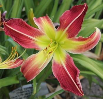Fuchsia Cockatoo